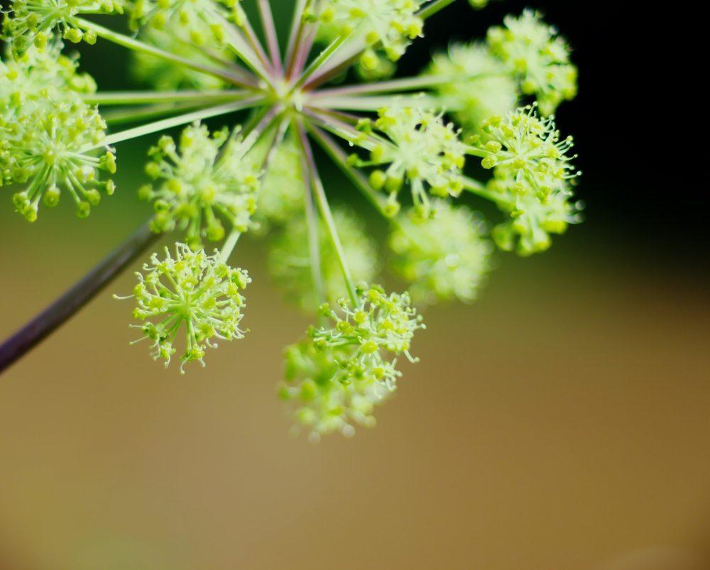 Engelwurz. (Bild: Fanfo / Shutterstock.com)