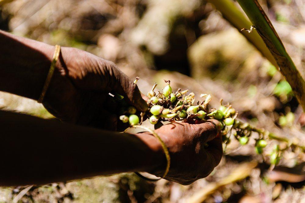 Bildbeschreibung: Die Ernte der kapselartigen Kardamom-Früchte erfolgt auch heute noch ohne Ausnahme von Hand. (Bild: Jaroslaw Saternus / Shutterstock.com)