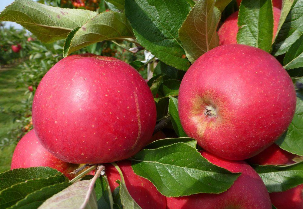Elstar-Äpfel werden ab Oktober bis November reif. (Bild: guentermanaus / Shutterstock.com)