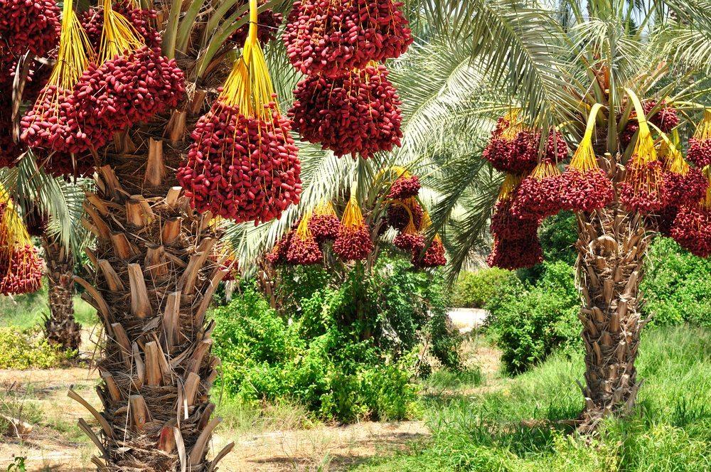 An einer Dattelpalme können pro Jahr bis zu 100 Kilogramm der süssen Früchte wachsen. (Bild: Oleg Zaslavsky / Shutterstock.com)