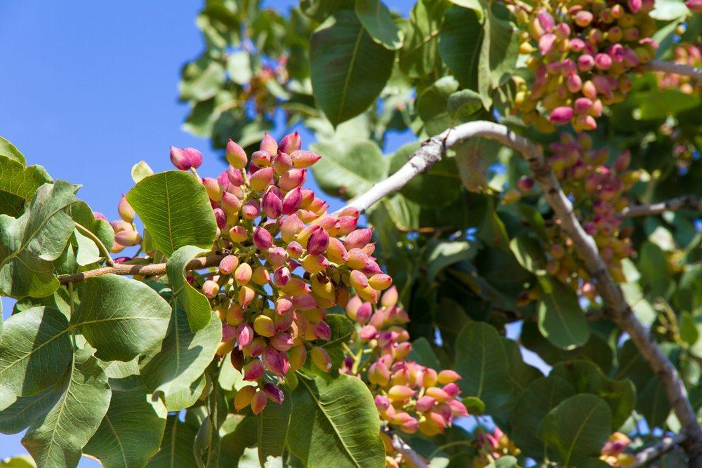 Pistazien reifen an Bäumen, von denen es männliche und weibliche gibt. (Bild: E.Panagopoulos / Shutterstock.com)