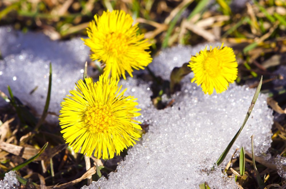 Die gelb-goldenen leuchtenden Blüten des Huflattichs sind oft schon im Februar zu finden. (Bild: Alis Photo / Shutterstock.com)