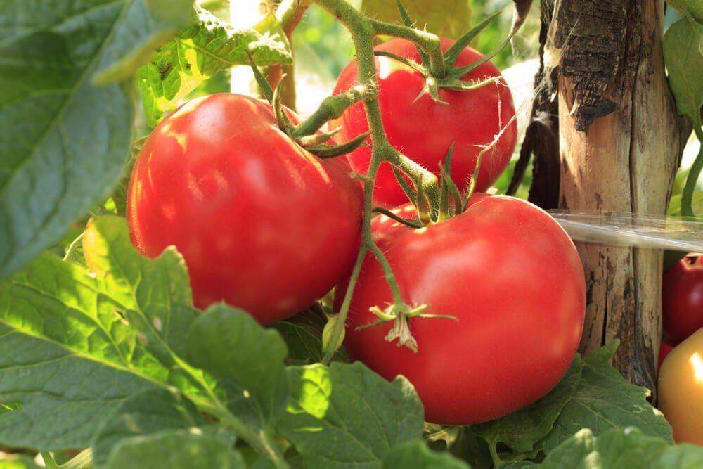 Tomaten sind einfach wunderschön anzusehen. (Bild: © Daniel Cviatkov Yordanov - shutterstock.com)