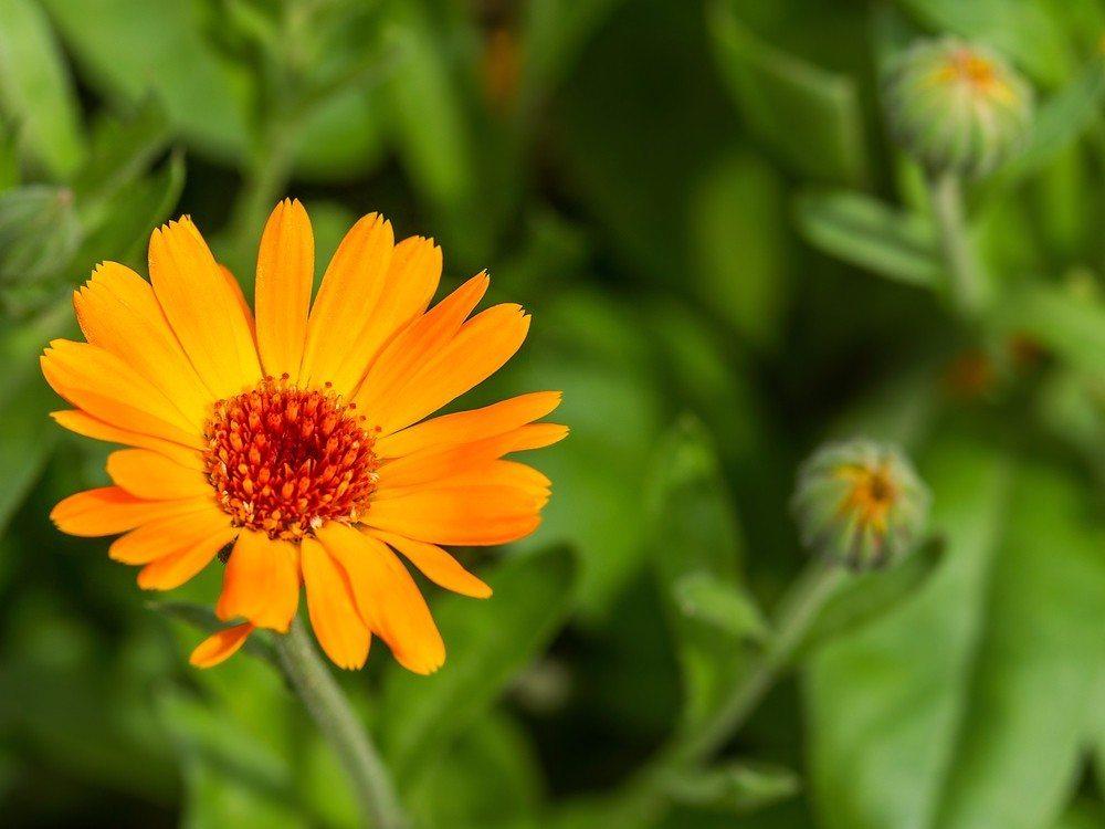 Ringelblume (Bild: © A_Lesik - shutterstock.com)