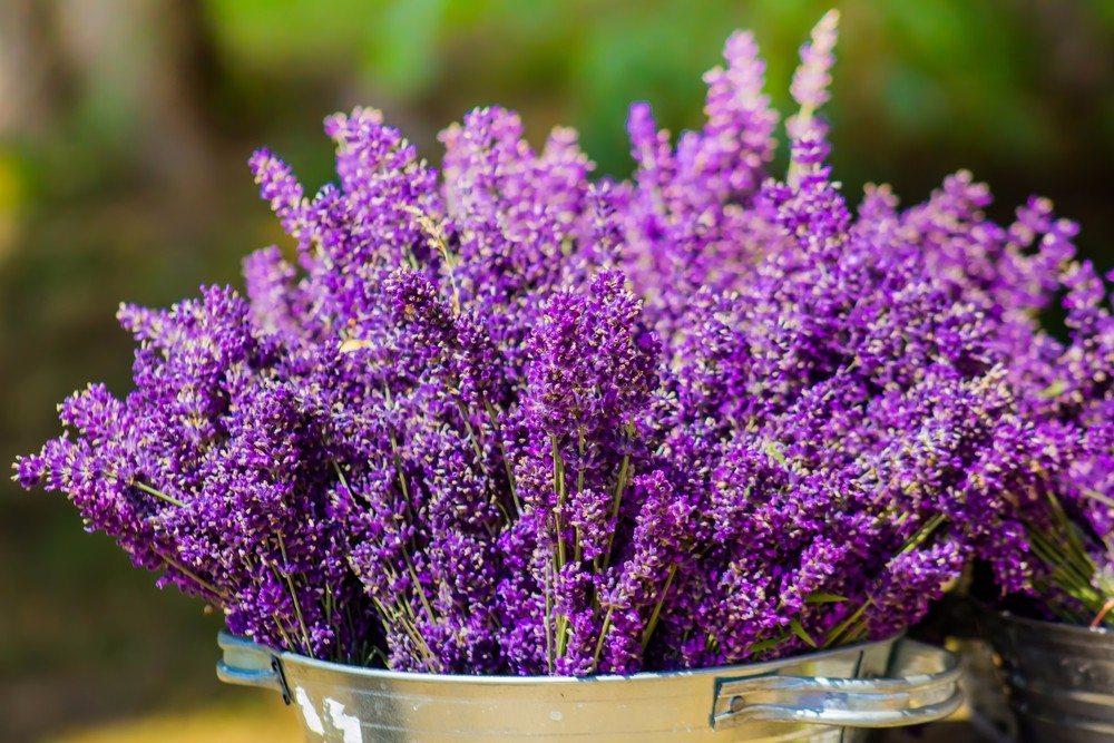 Lavendel (Bild: © MagicPhotography - shutterstock.com)