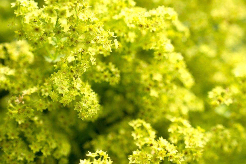 Frauenmantel (Bild: © Martien van Gaalen - shutterstock.com)