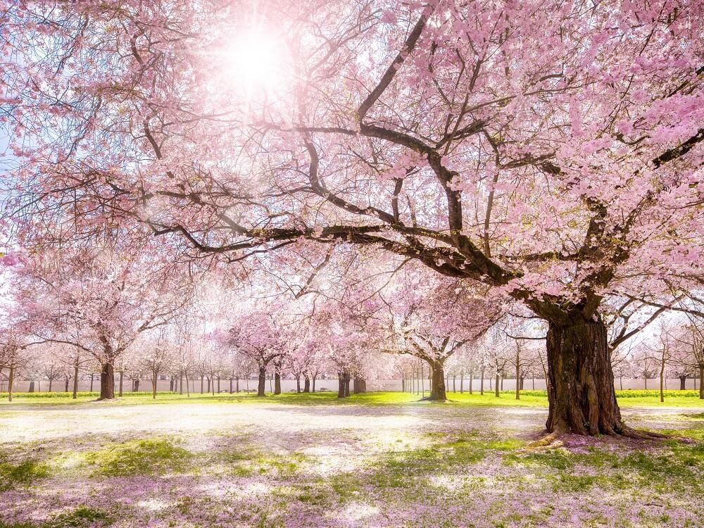 Schimmernden Kirschblüten im Frühling. (Bild: © eyetronic - fotolia.com)
