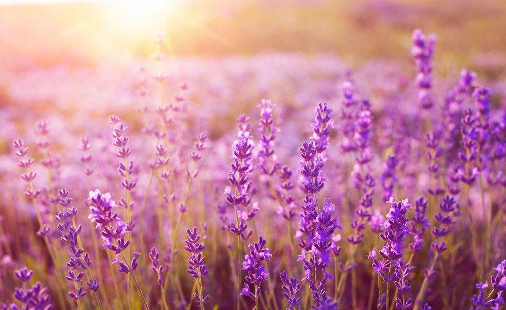 Lavendel eignet sich ideal für trockene Haut. (Bild: © Kotkoa - shutterstock.com)