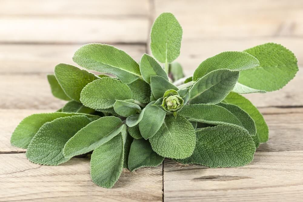 Salbei (botanischer Name: Salvia) (Bild: © Marek Gottschalk - fotolia.com)