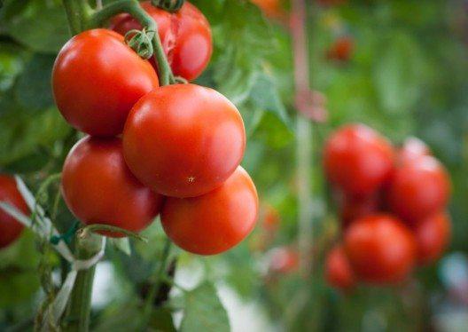 Eine durchschnittlich grosse Tomate liefert gerade mal ca. 15 Kalorien. (Bild: © Dusan Kostic - fotolia.com)