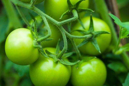 Die säuerliche grüne Tomate könnt ihr schmoren, einlegen und zu Chutneys verarbeiten. (Bild: © isak55 - shutterstock.com)