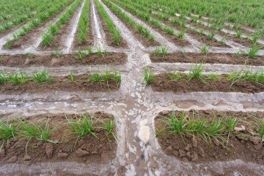 Das Erdmandelgras ist eine Nutzpflanze aus Zentralafrika. (Bild: © FCG - shutterstock.com)