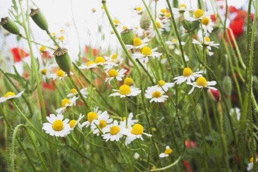 Die Kamille zählt zu den vielseitigsten Heilkräutern überhaupt. (Bild: © TunedIn by Westend61 - shutterstock.com)