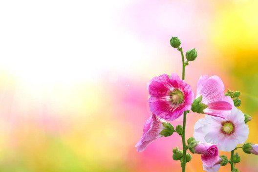 Malven sind ideal zur Pflege von unreiner und fettiger Haut geeignet. (Bild: © Worraket - shutterstock.com)