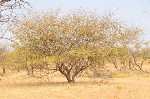Gummi arabicum wird von Akazienbäumen in der Sahelzone gewonnen.