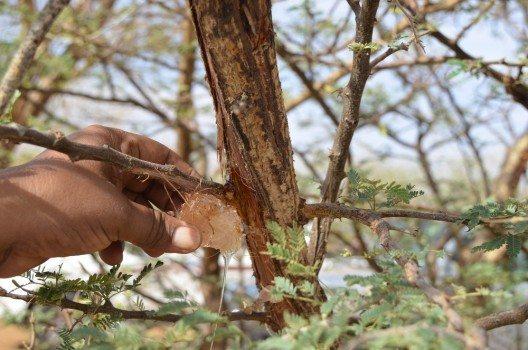 Ein Mann pflückt ein Akaziengummi-Knötchen.