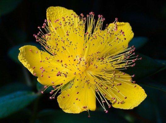 Hypericum calycinum (Bild: JJ Harrison, Wukimedia, CC)
