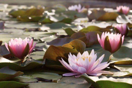 Im Duftbereich gibt Lotus Parfumkreationen etwas Luxuriöses, Vornehmes und Exotisches. (Bild: © Worraket - shutterstock.com)