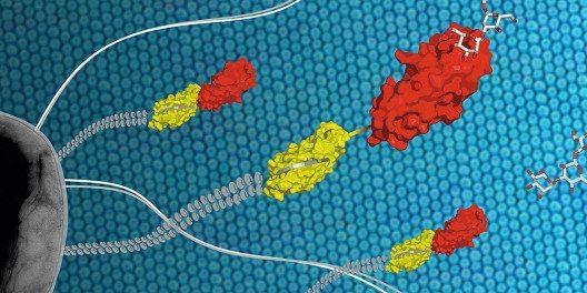 Der Infektionserreger E. coli (grau) hält sich mithilfe des Proteins FimH (gelb/rot), das sich an der Spitze langer Zellfortsätze befindet, an den Zelloberflächen des Harntraktes fest. (Bild: © Maximilian Sauer, ETH Zürich)