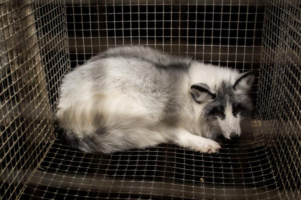Käfighaltung auf Gitterboden: Etiketten an Pelzprodukten müssen diese Tierquälerei weiterhin schonungslos offenlegen. (Bild: obs/Zürcher Tierschutz/© Dzivnieku Briviba/flickr.com)