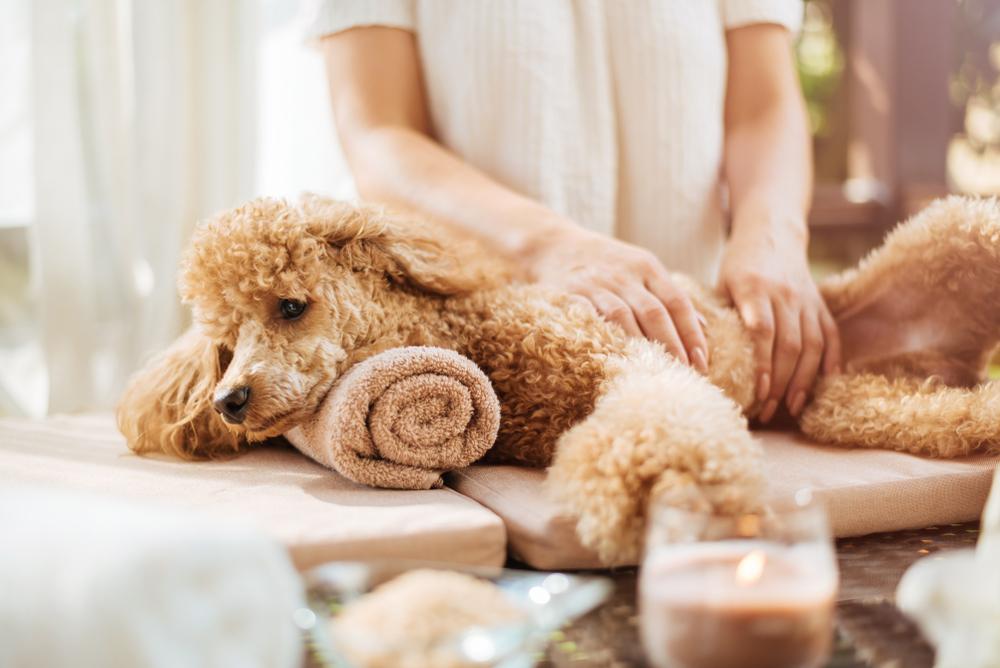 Frau, die einem Hund eine Körpermassage gibt. Spa-Stillleben mit Duftkerzen, Blumen und Handtuch.