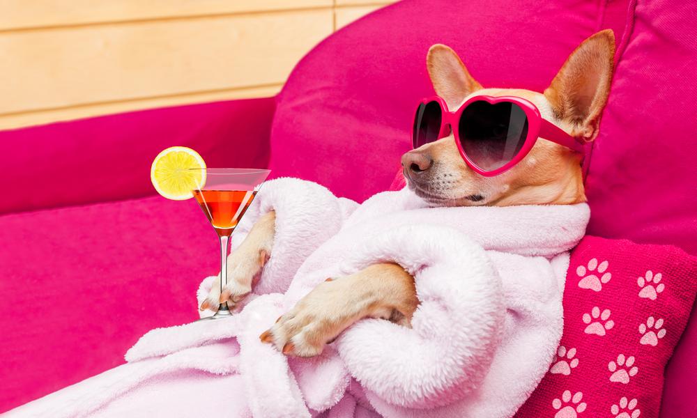 Chihuahua-Hund entspannt sich und liegt im Spa-Wellness-Zentrum, im Bademantel und mit einer lustigen Sonnenbrille , Martini-Cocktail inklusive